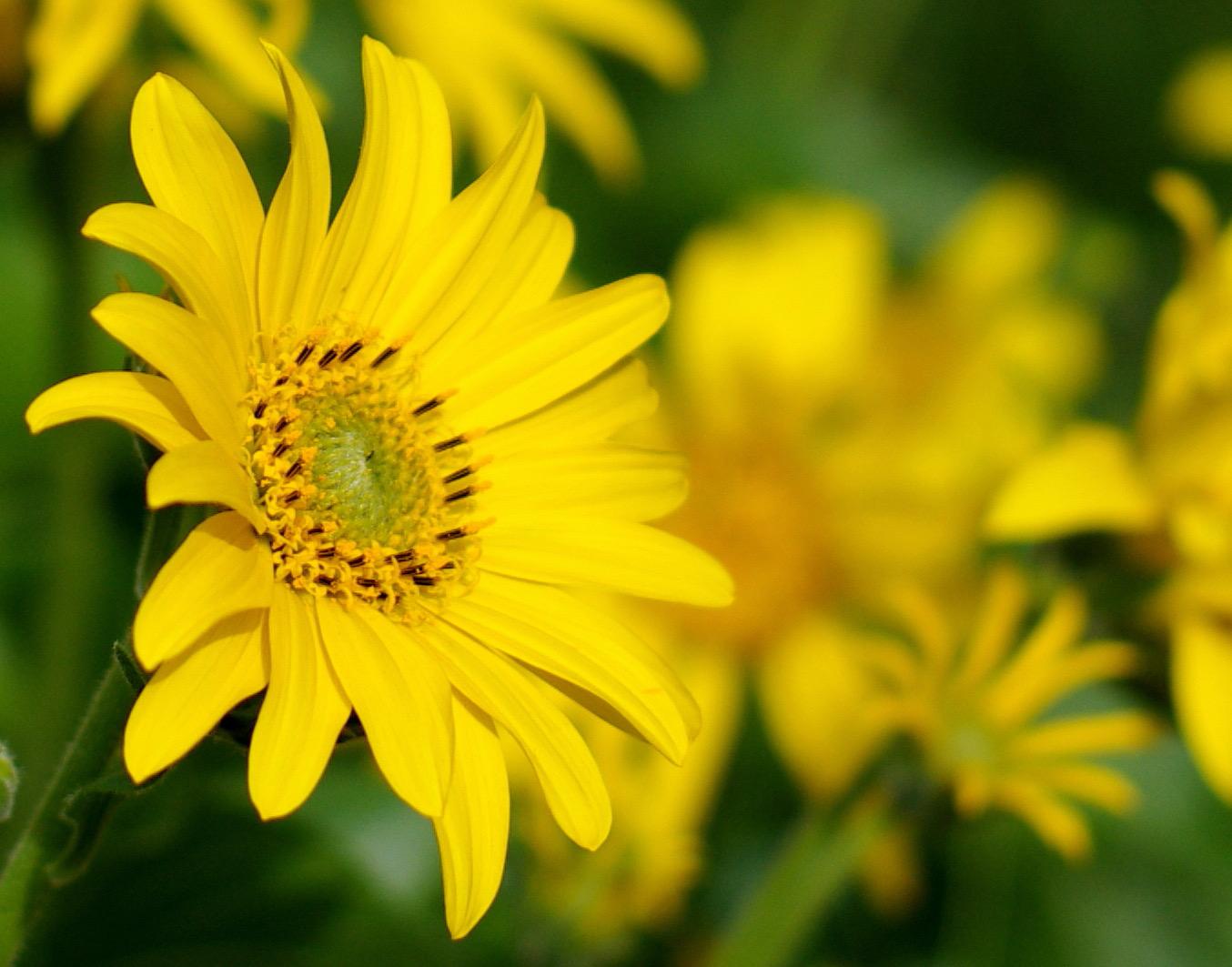 Balsam Root Flower